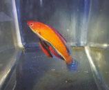 Cirrhilabrus rubeus, Zwerglippfisch