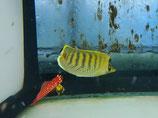 Chaetodon punctatofasciatus, Punktstreifen-Falterfisch
