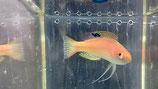Cirrhilabrus pylei, Blaurand-Zwerglippfisch