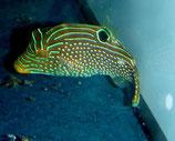 Canthigaster solandri, Augenfleck-Spitzkopfkugelfisch