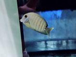 Acanthurus tristis, Indischer Mimikry-Doktorfisch