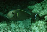Acanthurus nigricauda, Epauletten-Doktorfisch
