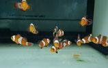 Amphiprion ocellaris, falscher Clown-Anemonenfisch