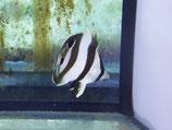 Chaetodon striatus, Schwarzbinden-Falterfisch