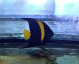 Pomacanthus asfur, Halbmond-Kaiserfisch
