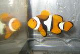 Amphiprion percula, Clown-Anemonenfisch