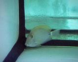 Acanthurus maculiceps, Sommersprossen-Doktorfisch