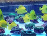 Zebrasoma flavescens, gelber Hawai-Doktorfisch