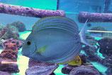 Acanthurus xanthopterus, Gelbflossen-Doktorfisch