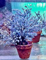 Acalycigorgia sp, blaue Fächerkoralle