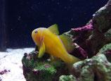 Gobiodon citrinus, Zitronen-Korallengrundel