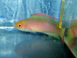 Cirrhilabrus rubrimarginatus, Rotrand-Lippfisch