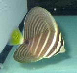 Zebrasoma veliferum, Fledermaus-Segelflosser