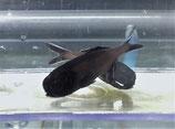 Anomalops katoptron, Laternenfisch