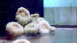 Phymanthus sp, Sandanemone
