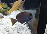 Acanthurus mata, Schwarzdorn-Doktorfisch
