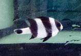 Dascyllus melanurus, Vierbinden Preußenfisch