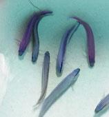 Pseudochromis fridmani x sankeyi, Indigo Zwergbarsch