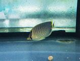 Chaetodon guttatissimus, gepunkteter Falterfisch