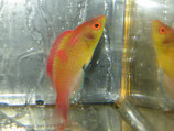 Cirrhilabrus adornatus, Debelius´ Zwerglippfisch