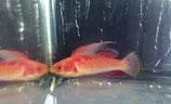Cirrhilabrus tonozukai, Tonos-Zwerglippfisch