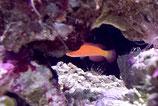Cirrhilabrus shutmani, Magma Zwerglippfisch