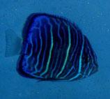 Pomacanthus annularis, Ringkaiser