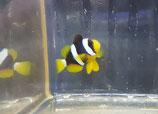 Amphiprion clarkii, Clarks Anemonenfisch