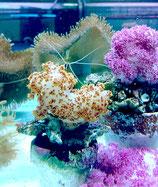Dendronephthya sp, farbige Weichkoralle