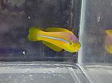 Halichoeres garnoti, Gelbkopf-Lippfisch