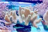 Lobophytum sp, Lederkoralle