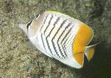 Chaetodon mertensii, Winkel-Orangen-Falterfisch
