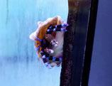Calcinus elegans, blauschwarzer Eindsiedlerkrebs