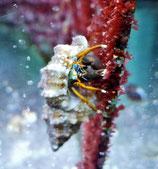 Calcinus sp, algenfressender Einsiedlerkrebs