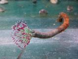 Bispira guinensis, kleine rote Röhrenwürmer