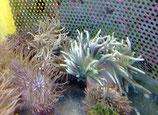Macrodactyla doreensis,  Rotfuß-Korkenzieheranemone