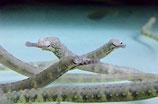 Corytoichthys sp, Krokodilseenadel
