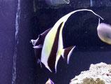 Zanclus cornutus, Halfterfisch
