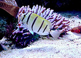 Acanthurus triostegus, Sträflings-Doktorfisch