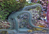 Ophiarachna incrassata, olivgrüner Schlangenstern