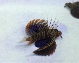 Parapterois heterura, Zipfelschwanz Feuerfisch