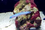 Ptereleotris heteroptera, blaue Torpedogrundel