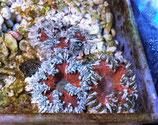 Phymanthus crucifer, karibische Perlenanemone