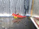 "Synchiropus sycorax (""moyeri""), roter Philippinen Leierfisch"