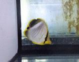 Chaetodon xanthocephalus, Gelbkopf-Falterfisch
