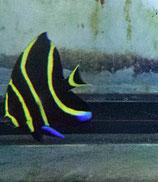 Pomacanthus paru, Franzosenkaiser
