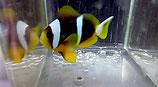 Amphiprion allardi, afrikanischer Anemonenfisch