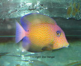 Ctenochaetus hawaiiensis, Hawai-Borstenzahn-Doktorfisch