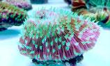 Fungia sp, Pilzkoralle