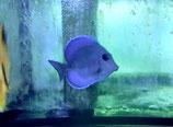 Acanthurus coeruleus, Spätblauer Doktorfisch